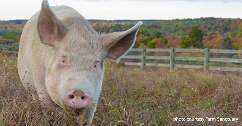 adopt farm animal